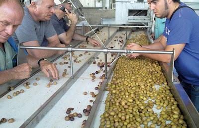 Prototec revisa funcionamiento de máquina selectora de aceitunas en Israel