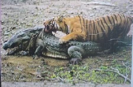Tiger attacks man riding Elephant  iimgurcom
