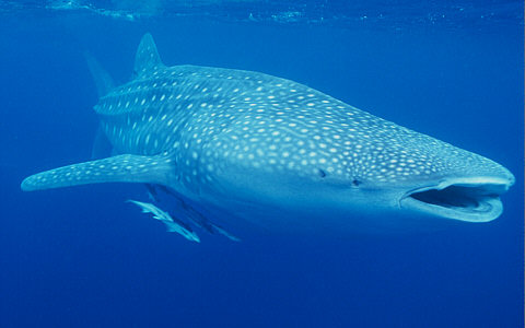 whale shark attack. The largest shark, the Whale