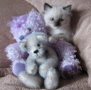 A silver and blue bear with ragdoll kitten