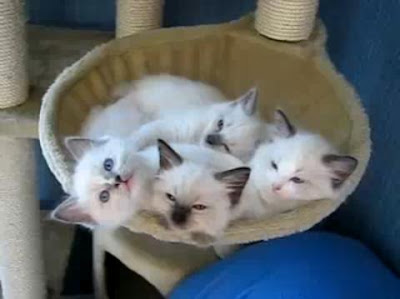 4 Ragdoll Kittens Sleep Together