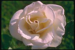 La Rosa pallida