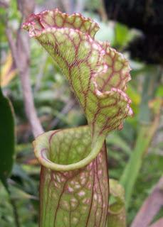 Plantas carnivoras en puebla mexico sarracenias for Plantas exoticas de interior