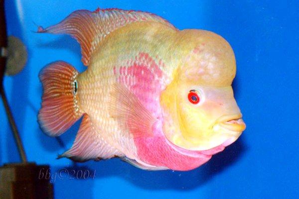 Facts around us facts about flowerhorn for Flower horn fish price