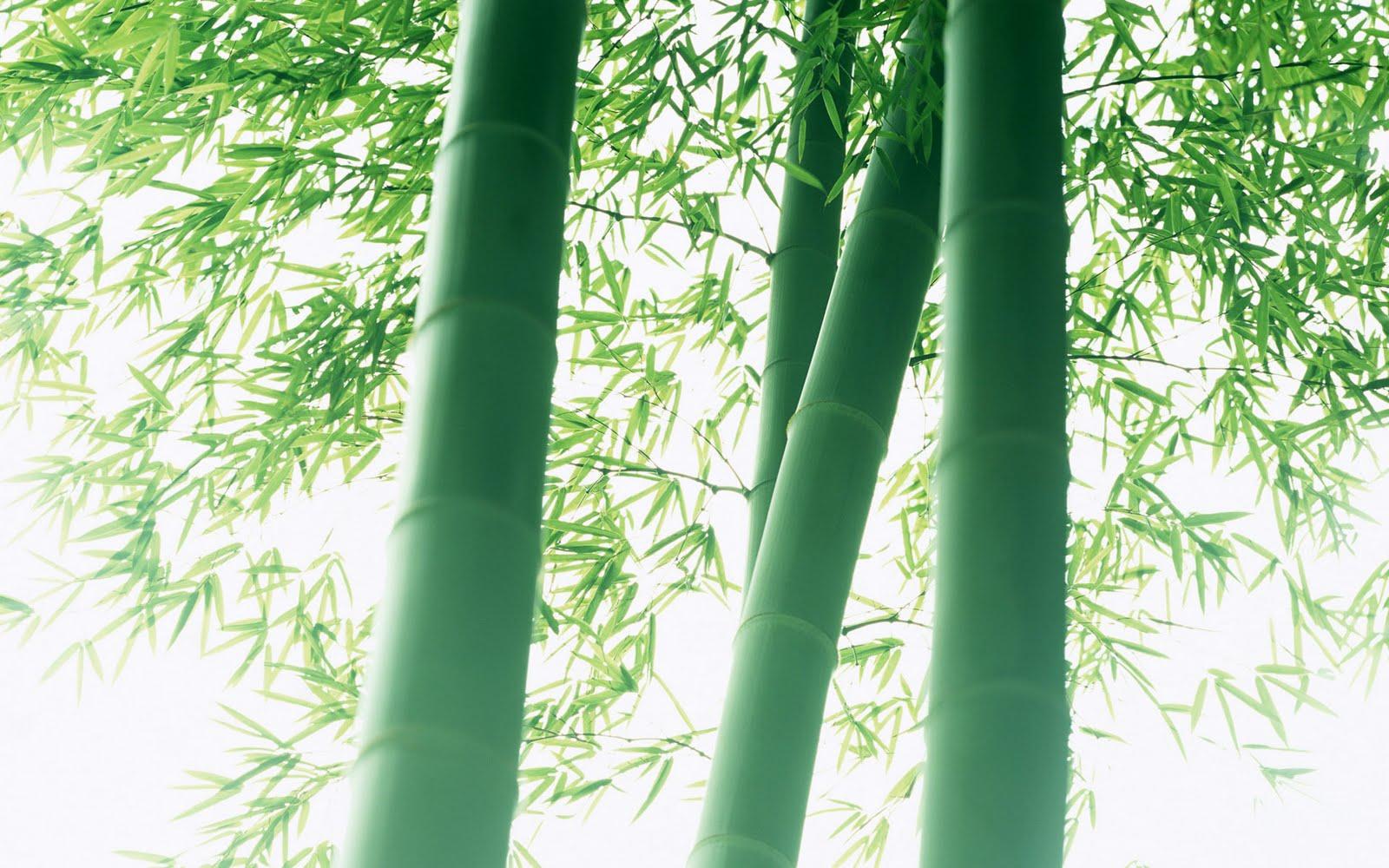 http://4.bp.blogspot.com/_QkWfBvmBstU/S-C32E35BkI/AAAAAAAAAZg/4L6doF8EJmw/s1600/bamboo+1920x1200-15.jpg