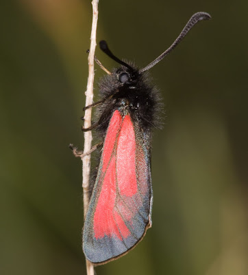 Transparent Burnet