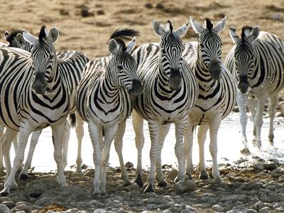 Koleksi Foto Kuda Zebra