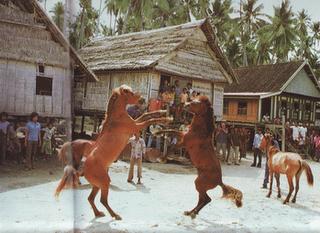 Koleksi Foto Kuda Aduan   Koleksi Foto dan Gambar