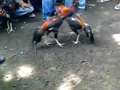 Pin Pitoong Gambar Ayam Laga Thailand on Pinterest