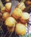 Koleksi Gambar Pohon Kelapa Genjah