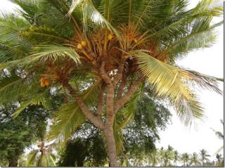 Koleksi Gambar Pohon Kelapa Bercabang