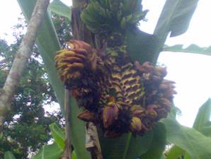 Koleksi Foto Pohon Pisang Buah Bercabang