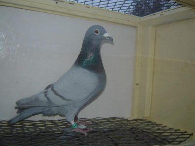 Koleksi Gambar Burung Merpati Pos | Koleksi Foto dan Ga