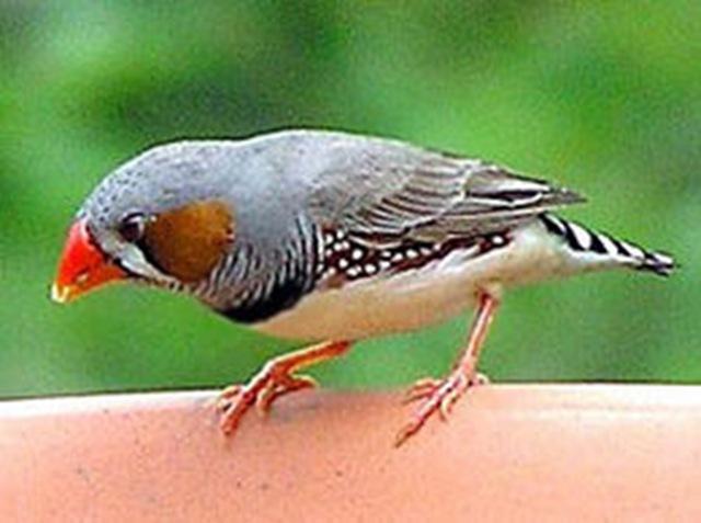 Burung pipit yang cantik, mempunyai bulu berwarna indah. Burung pipit