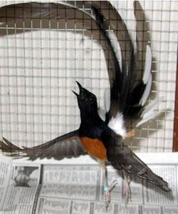 Gambar Burung Murai Batu | GAMBAR BURUNG HIAS,PIARAAN,KICAU
