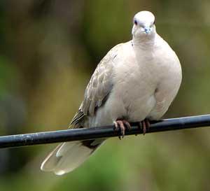 http://4.bp.blogspot.com/_Qlsny4XUWew/TPRoUlonGYI/AAAAAAAAAUY/Zl5NZuqNNBY/s320/burung-merpati1.jpg