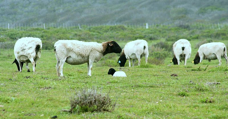 most common sheep breed in
