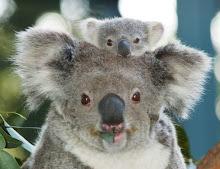 http://4.bp.blogspot.com/_QmhlsoNlDf4/Sm296xw9ujI/AAAAAAAAACI/ldqU8raD-vA/S220/koala.jpg