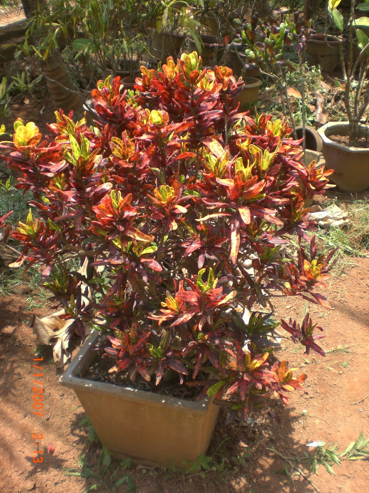 Variety of plants croton plants buy plants in chennai for Croton plant