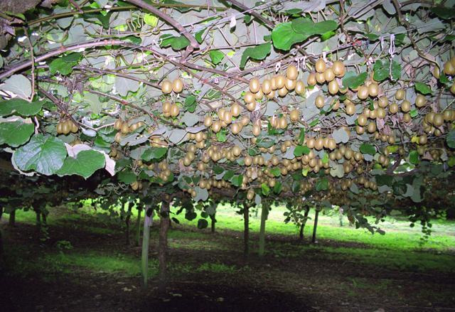O cultivo a vida kiwi ou actinidia deliciosa for Albero di kiwi
