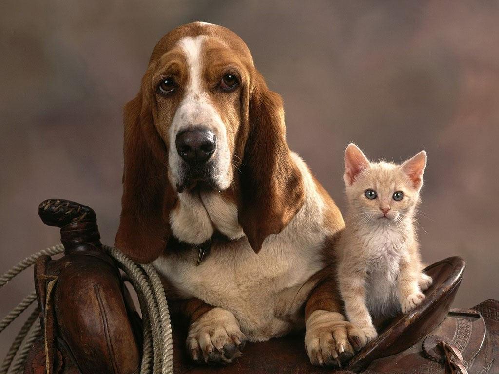 Russell Bassett Wallpapers Bassethound e il suo amico gattino Immagini e Sfondi per Ogni