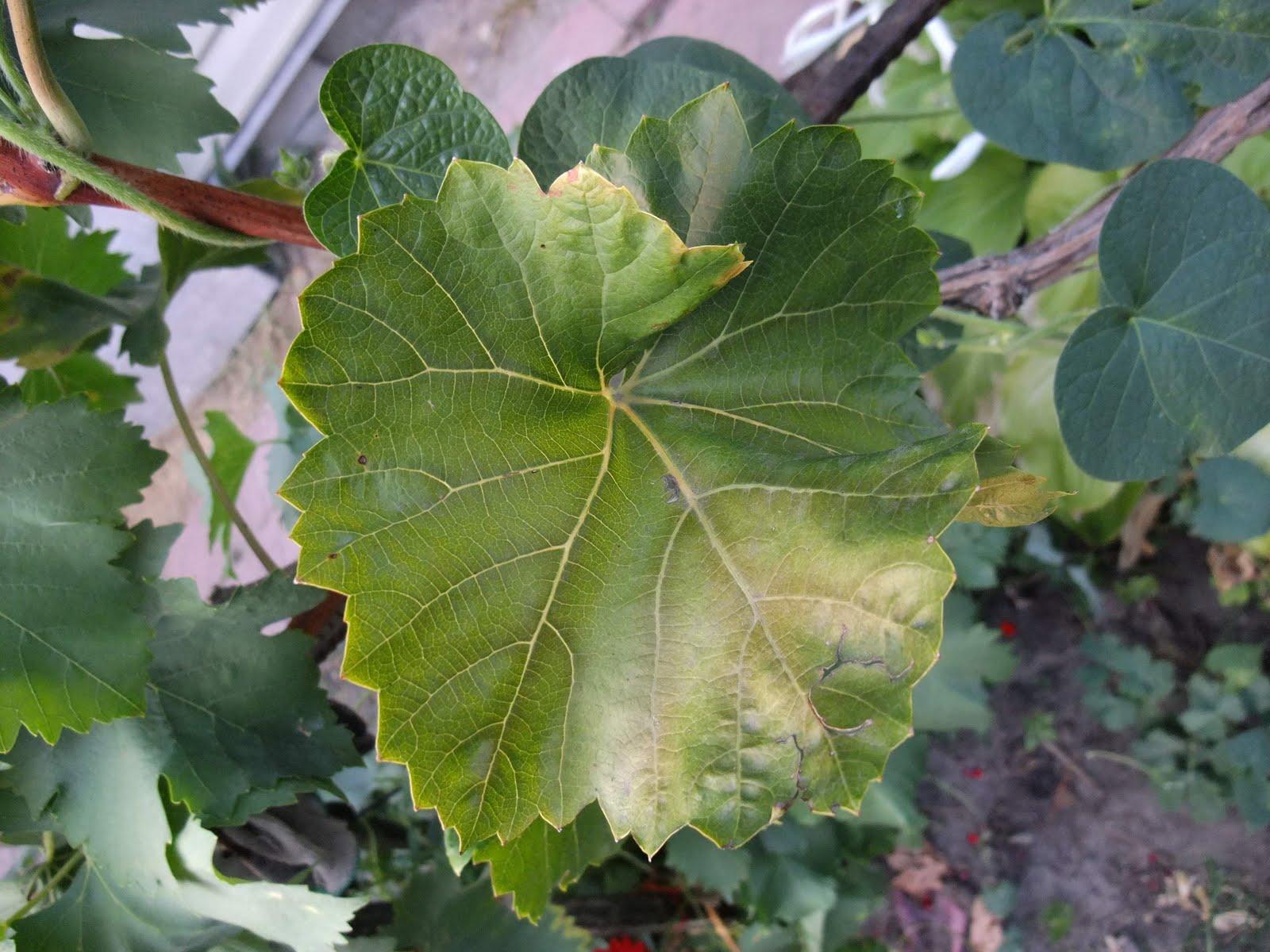 Виноград как ухаживать за виноградом