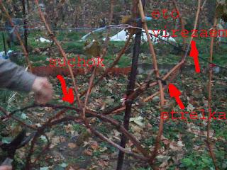 Схема обрезки винограда осенью