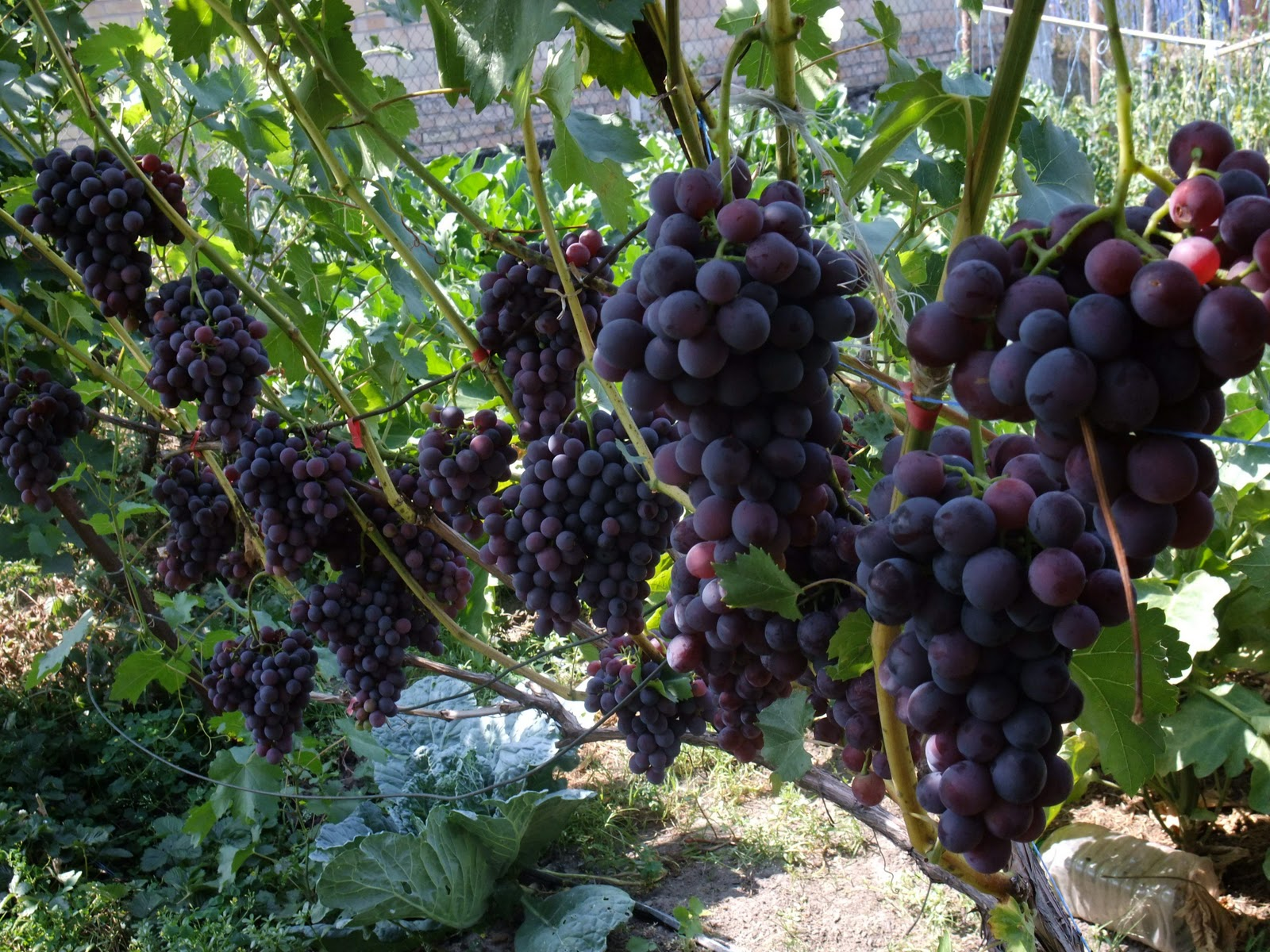 Агротехника выращивания лука севка - Саду рад! 13