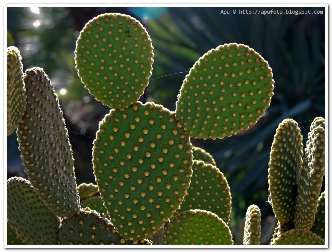 me ha crecido 4 centrimetros -el cactus digo- (cactus de planta) Cactus_Mickey+Mouse_apu