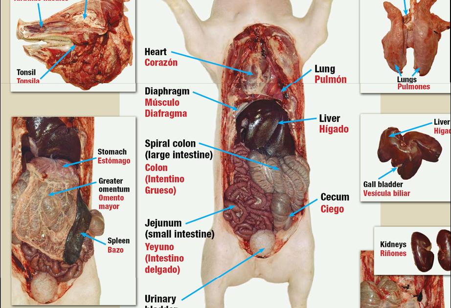 agropecarias: fisiologia y anatomia del cerdo