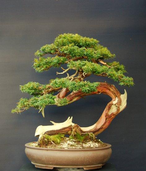 jupp s bonsai blog taxus cuspidata nana. Black Bedroom Furniture Sets. Home Design Ideas