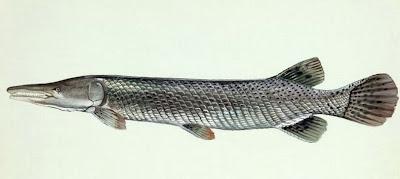 幽靈魚 鱷雀鱔 - 228公園的幽靈魚 鱷雀鱔