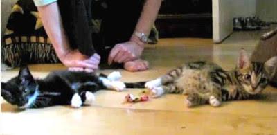 罕見 昏倒貓 - 罕見昏倒貓令人心疼