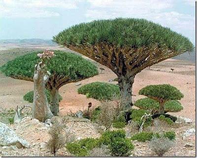 8000歲龍血樹 - 葉門8000歲龍血樹