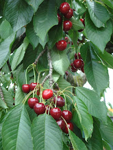 The trees in June ! Cherries everywhere.