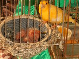 Canaria cuidando dos 4 filhotes.
