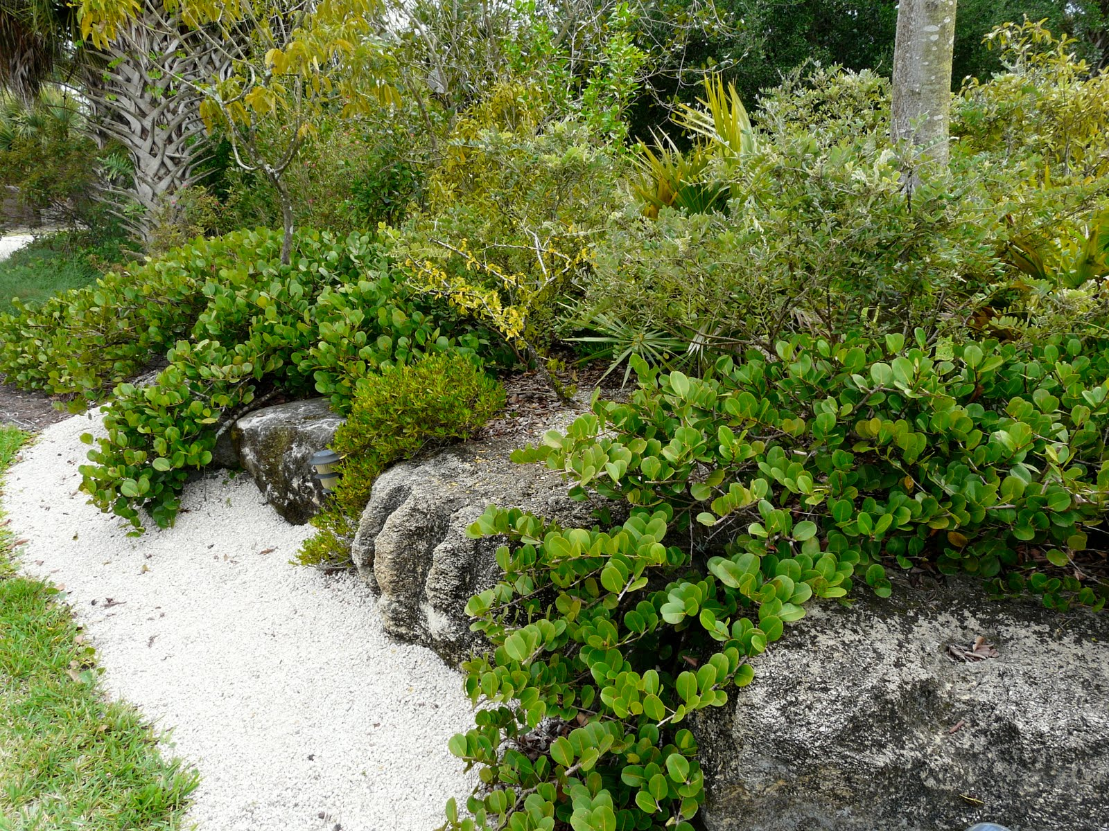 Florida native plant society blog horizontal cocoplum in for Landscaping plants