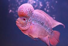 ภาพปลาหมอสวยๆ