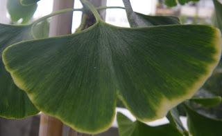 Ginkgo Biloba /Maidenhair leaf