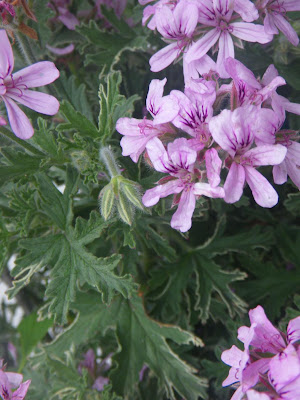 Scented Pelargonium / Geranium Lady Plymouth flower