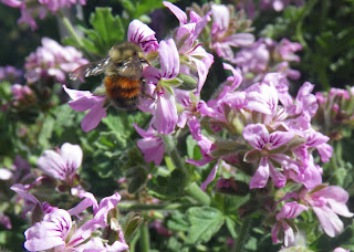 Bee in Drusaim flower