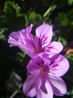 Scented Pelargonium / Geranium Pink Champagne flower