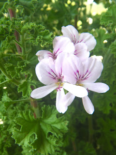 Scented Pelargonium / Geranium Prince of Orange flower