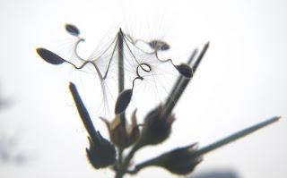 Scented Pelargonium Grossularioides / Coconut Geranium seeds