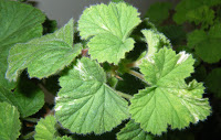 Scented Pelargonium / Geranium Atomic Snowflake leaves