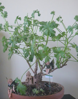Pelargonium bonsai, Mexican Sage