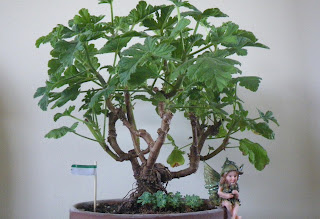 Pelargonium bonsai, Shrubland Rose