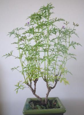 Rose-Scented Geranium - with a columnar habit