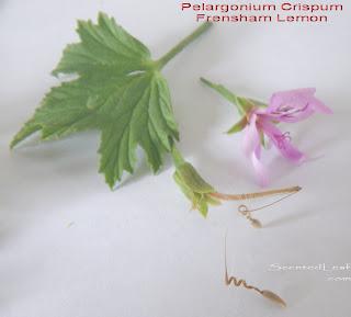 Pelargonium crispum: Frensham Lemon variety