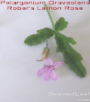 Pelargonium Graveolens: Rober's Lemon-Rose